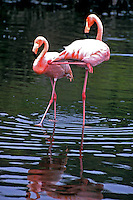 Animais. Aves. Flamingos (Phoenicopterus ruber). Galápagos Foto de Juca Martins.