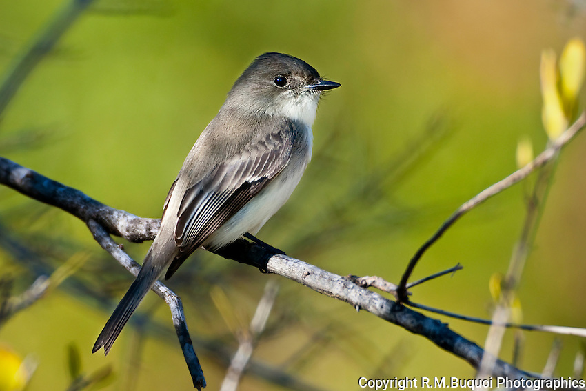Eastern Phoebe perched in Tree