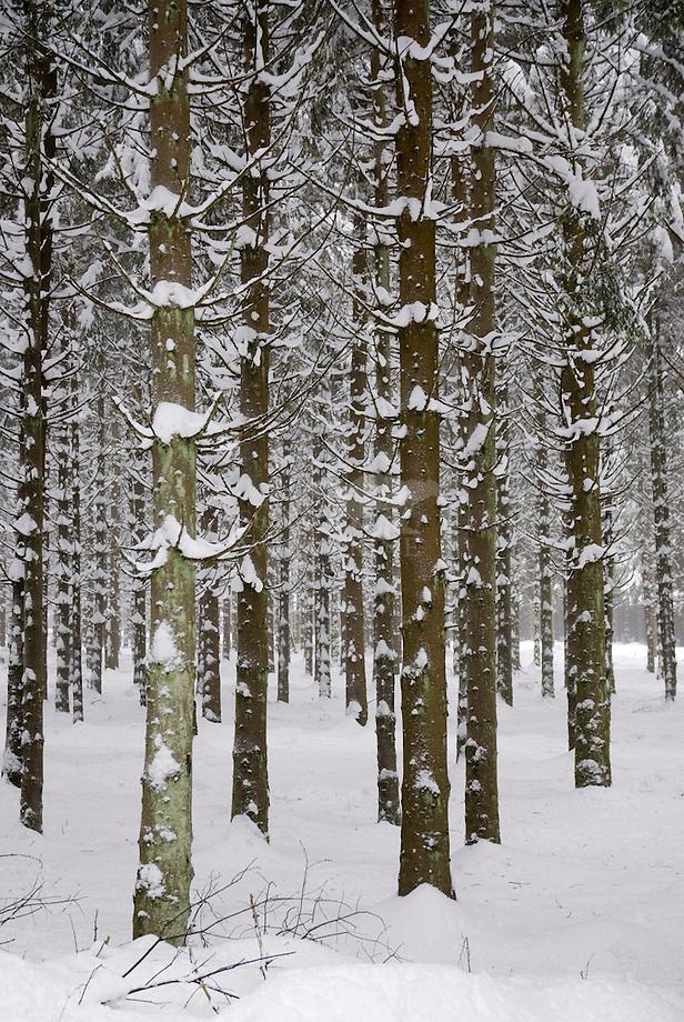 Besneeuwd sparrenbos, Ardennen, België.