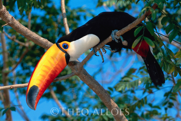 Toco Toucan Perched in a Tree, Pantanal Mataogrossense National Park, Brazil