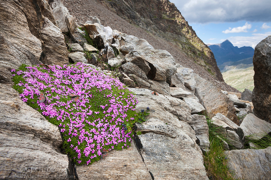 Moss Campion {Silene acaulis} growing amongst rocks at 2800 metres altitude. Gran Paradiso National Park, Aosta Valley, Pennine Alps, Italy. July.