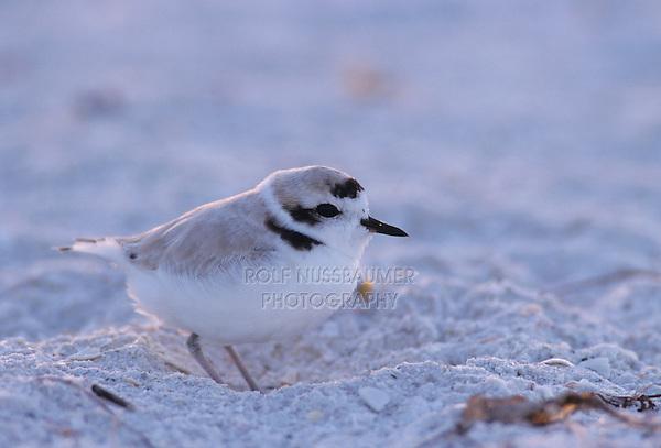 Snowy Plover, Charadrius alexandrinus, male, Sanibel Island, Florida, USA