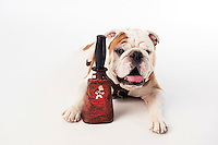 Champ (Bully XX) on white studio background with cowbells (photo by Beth Wynn / © Mississippi State University)