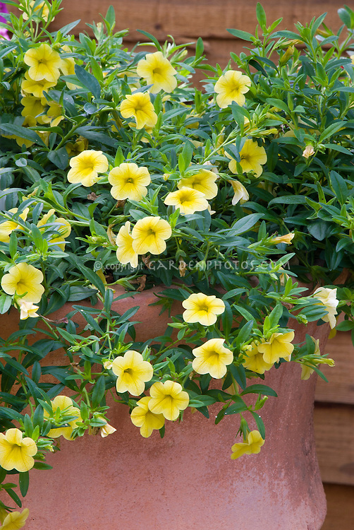 Calibrachoa Cabaret Yellow in pot container