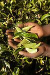 lush tea plantations nearby Nuwara Eliya