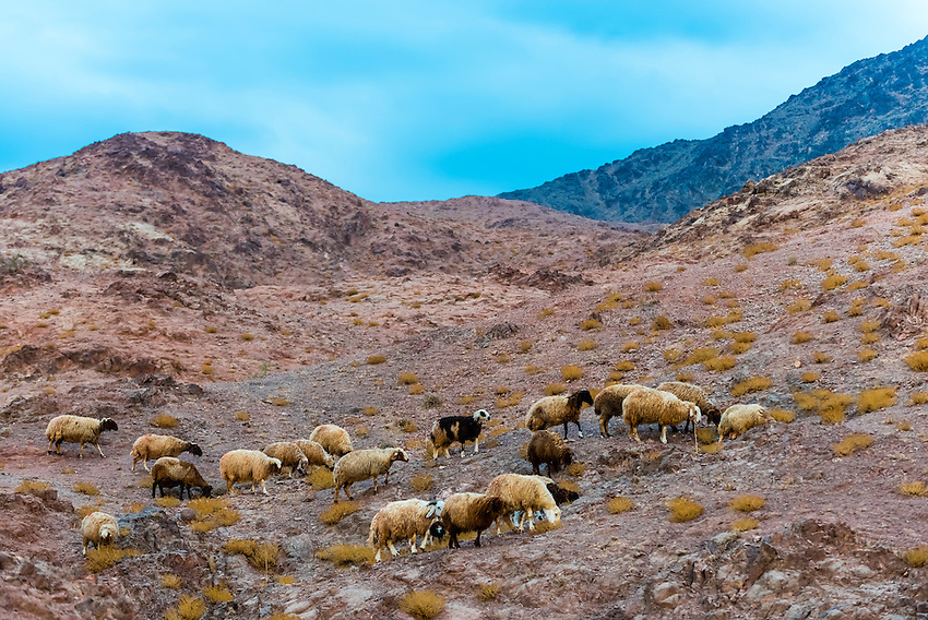 Sheep, Dana Biosphere Reserve, Wadi Feynan, Jordan.