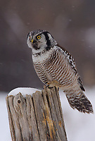 Adult Northern Hawk Owl (Surnia ulula). Quebec, Canada. March.