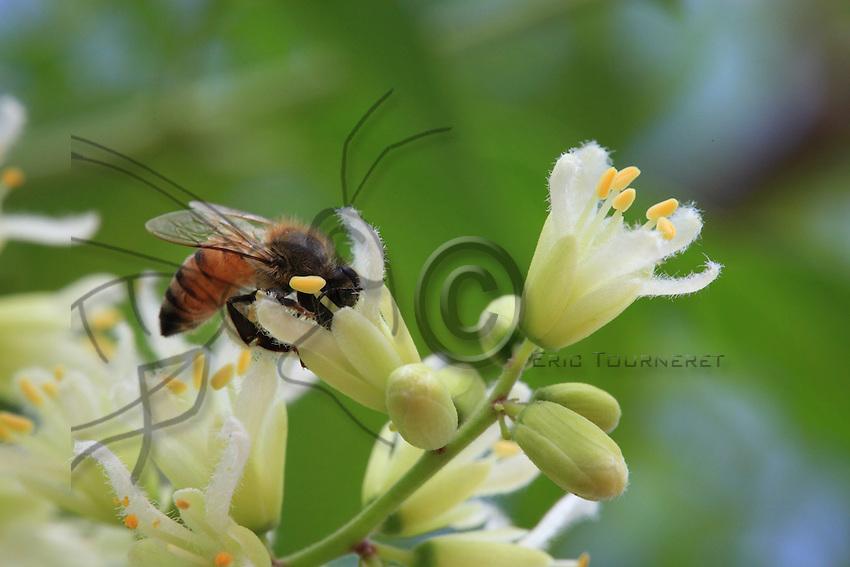 On a Maringo olifera flower, a medicinal and edible plant, a bee drinks the nectar and gathers the pollen. Three bee species cohabit: one from the Rift Valley, the Apis mellifera mellifera, another, Sudanese one, the Apis mellifera nubica, and the last originating from Afar in the east, near Somalia, the Apis mellifera Scrutellata. ///Sur une fleur de Maringo olifera, une plante médicinale et comestible, une abeille butine le nectar et récolte le pollen. Trois espèces d'abeilles cohabitent, l'une de la vallée du Rift, l'Apis mellifera mellifera,une autre Soudanaise, l'Apis mellifera nubica, et la dernière originaire de l'Afar à l'Est, près de la Somalie, l'Apis mellifera Scrutellata