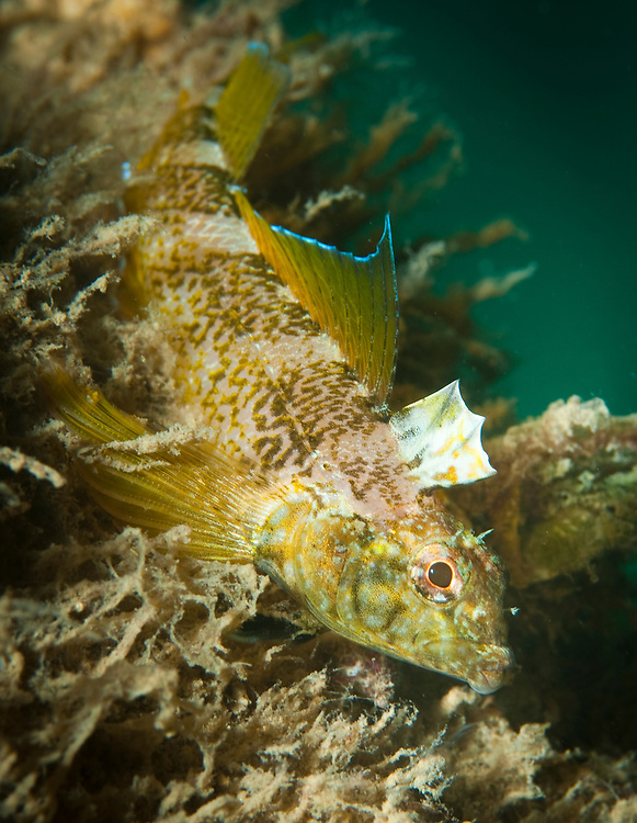 Black face blenny, (Tripterygion delaisi), under Swanage pier, Dorset, United Kingdom
