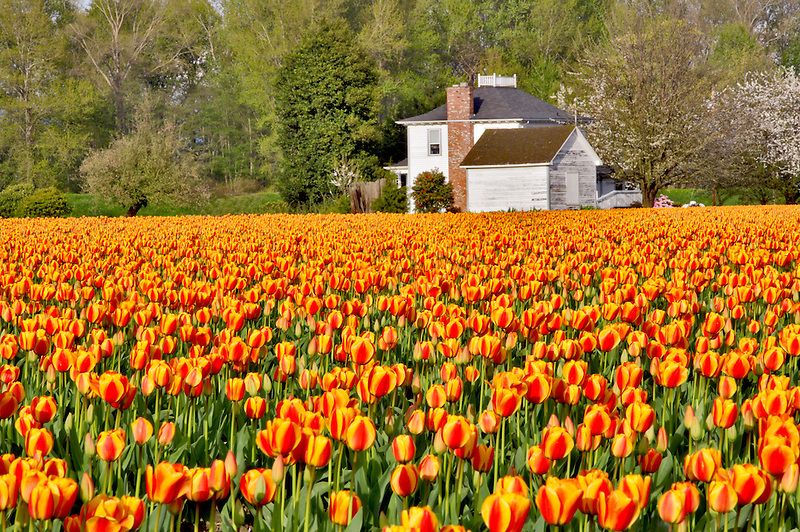 Field of tulips and farm house. Mt. Vernon. Washington