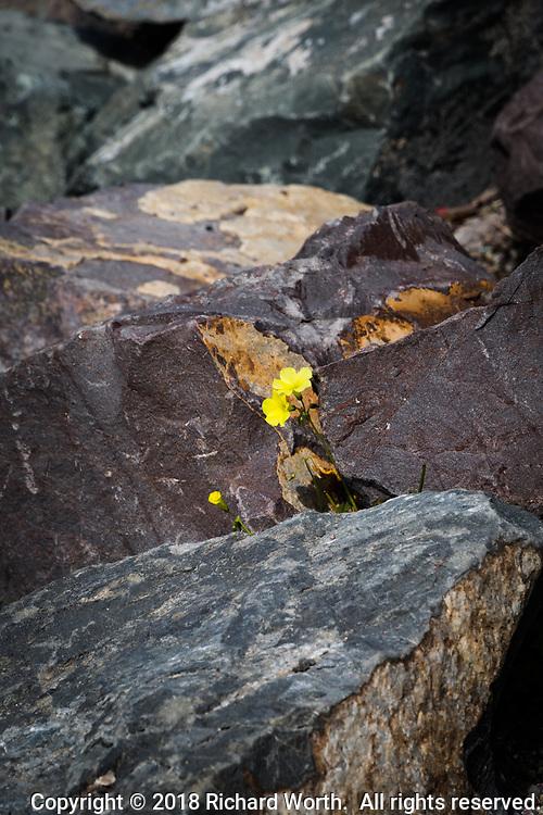 A lone yellow flower grows among the rocks along the bank of the small boat lagoon at San Leandro Marina Park, on San Francisco Bay.
