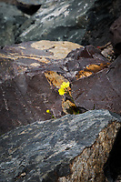 A lone yellow flower grows among the rocks along the bank of the small boat lagoon at San Leandro Marina Park, on San Francisco Bay.