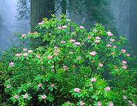 Redwood National Park, CA <br /> Flowering Pacific rhododendron (R. macrophyllum) and Redwoods (Sequoia sempervirens) in coastal fog  - Del Norte Coast Redwoods State Park