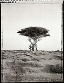 ERITREA, Asmara, a man standing in the desert under an Acacia tree on the outskirts of Asmara (B&W)