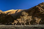 Mongolian poplars (Populus suaveolens) in afternoon light, Altai Mountains, Hovd, Mongolia