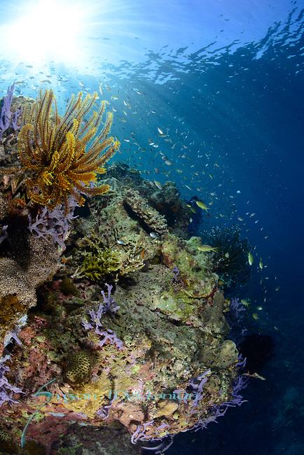 Sunlit Reef , Larantuka, eastern end of Flores Island, East Nusa Tenggara, Indonesia. ,
