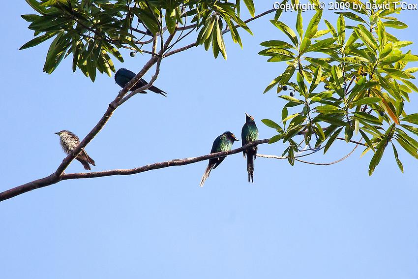 Metalic Starlings, Daintree NP, Queensland, Australia