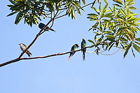 Metalic Starlings, Daintree NP, Queensland, Australia