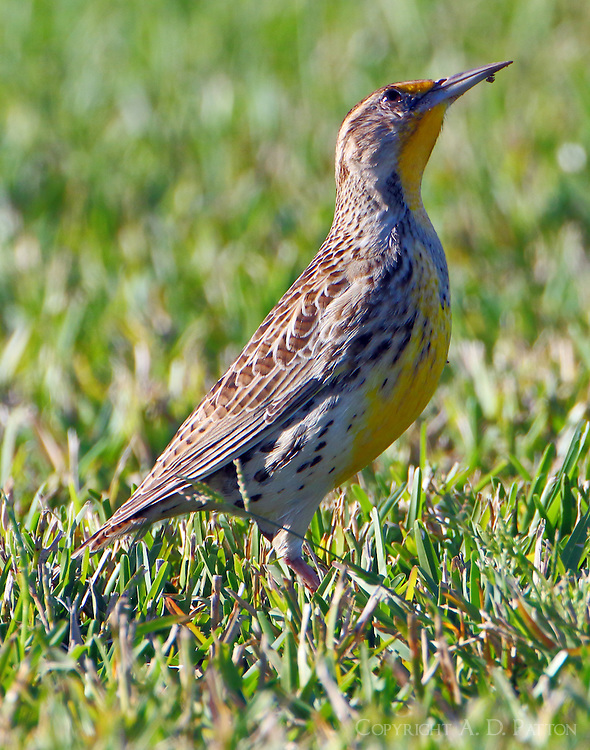 Adult western meadowlark in non-breeding plumage