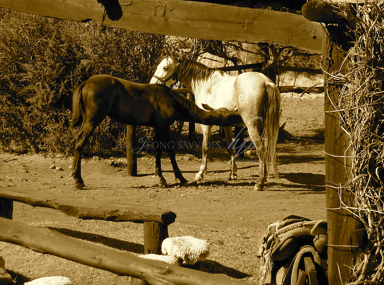 'Mother and baby horses', El Calafate, Patagonia, Argentina   Feb 08