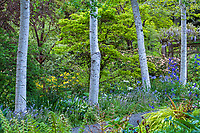 Populus tremuloides, Quaking aspen, columnar white trunk trees by mixed foliage border and path in O'Byrne Garden