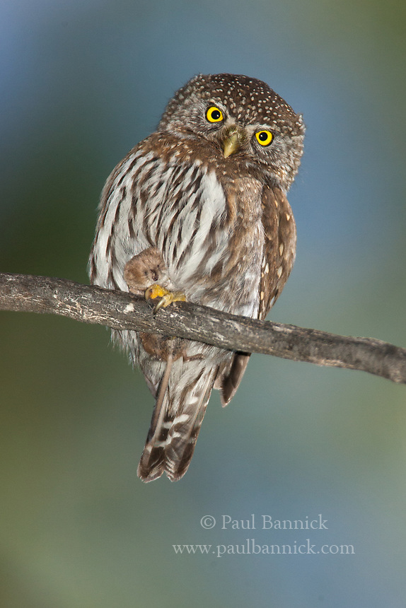 A male Northern Pygmy-Owl calls for the female to let her know he is about to deliver a shrew to the nest.