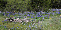 Named for its color and, it is said, the resemblance of its petal to a woman's sunbonnet, the bluebonnet is the state flower of Texas. Spring 2010.