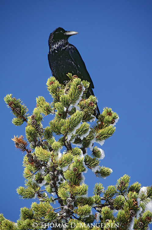 A raven perches in a tree.