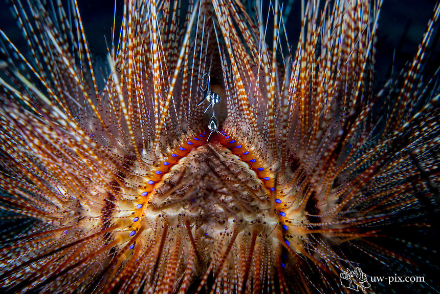 Banggai cardinal fish in fire urchin