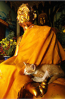 A kitten rests in the lap of an enshrined monk at a temple in Thailand.