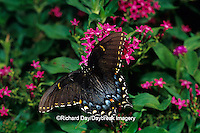 03023-02010 Eastern Tiger Swallowtail (Papilio glaucus)  female on Red Pentas (Pentas lanceolata)  Marion Co.  IL