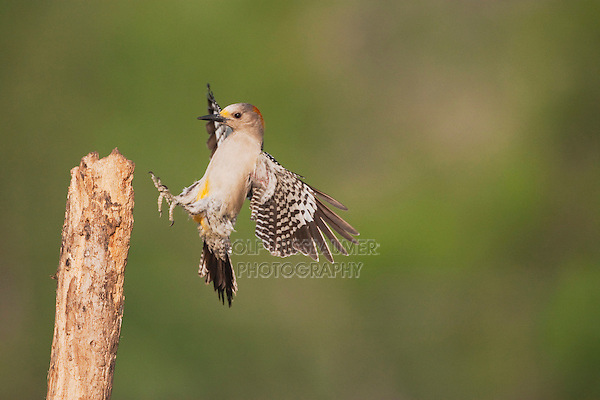 Golden-fronted Woodpecker (Melanerpes aurifrons), female landing, Sinton, Corpus Christi, Coastal Bend, Texas, USA