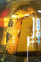 Vietnam. Ha Tay province. Restaurant in Lai Xa. On display, a dead cobra in a glass botle. A cobra is a snake, which is a member of the genus Naja, a group of venomous elapids found in Asia. When disturbed, most of these snakes can rear up and spread their neck (or hood) in a characteristic threat display. Lai Xa is a typical hamlet (village) and is part of the Kim Chung commune located 15 km west of Hanoi. 06.04.09  © 2009 Didier Ruef