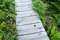 Boardwalk trail through old growth temperate rain forest, Sand Point Trail, Olympic National Park, Olympic Peninsula, Clallam County, Washington, USA