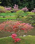 Seattle, WA:  A sculpted evergreen azalea flowering near the lake in the Japanese Garden in spring located in the Washington Park Arboretum