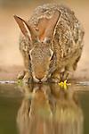 Rabbit at waterhole