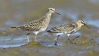 Pectoral Sandpiper - Calidris melanotos (left) and Dunlin - Calidris alpina (right)