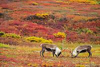 Two bull caribou sparring on tundra, Denali National Park, Alaska