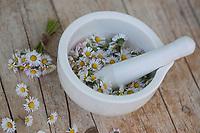 Gänseblümchen werden in einem Mörser gemahlen, Gänseblümchen ernten, Ernte, Kräuterernte, Kräutersammeln, Ausdauerndes Gänseblümchen, Mehrjähriges Gänseblümchen, Maßliebchen, Tausendschön, Bellis perennis, English Daisy, common daisy, lawn daisy, la Pâquerette, la pâquerette vivace