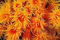 orange cup coral, Tubastraea coccinea, Ko Bon, Thailand, Andaman Sea, Indian Ocean