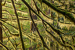 Columbia River Gorge, Oregon, backlit lichen and moss on evergreen boughs