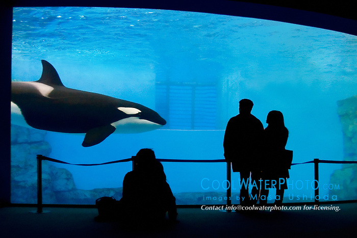 Orca or Killer Whale, Orcinus orca, and aquarium visitors
