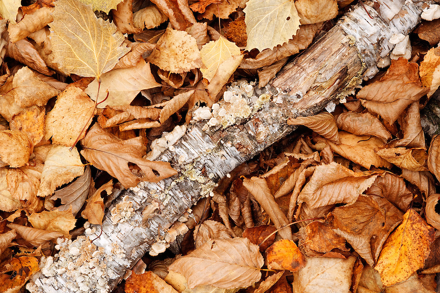 Tree limb resting on forest floor with fallen autumn leaves, Mount Desert Island, Acadia National Park, near Bar Harbor, Maine, USA