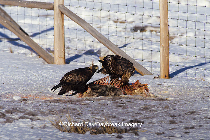 00788-00311 Golden Eagles (Aquila chrysaetos) on deer carcass in winter   WY