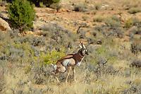 Pronghorn (Antilocapra americana) buck marking territory (urinating).