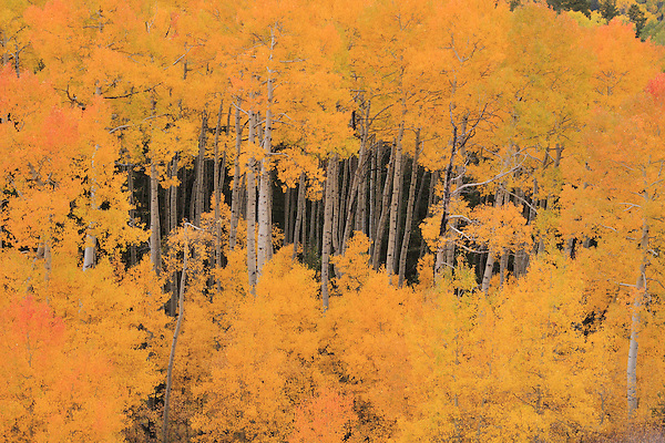 Autumn Aspen trees in the San Juan Mountains, near Telluride, Colorado, USA.