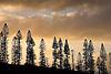 Cook Pine trees on the grounds of the Ritz-Carlton Kapalua on Maui, Hawaii. Photo by Kevin J. Miyazaki/Redux
