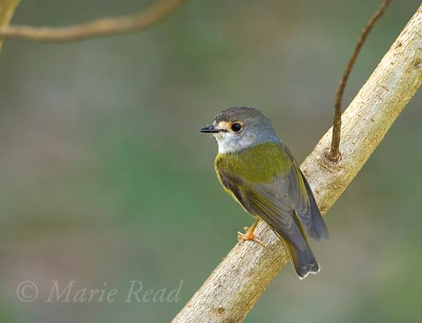 Pale-yellow Robin (Tregellasia capito), Kingfisher Park Birdwatcher's Lodge, Queensland, Australia.