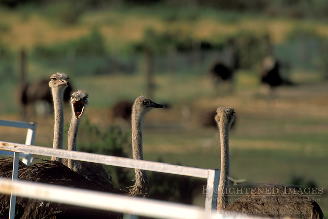 Ostrich Ranch, near Solvang, Santa Barbara County, California