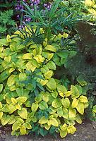 Helleborus foetidus with Melissa officinalis All Gold & Fennel herb foliage Foeniculum
